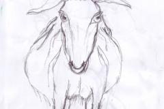 Zeichnung Ziege frontal0001