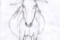 Ziege frontal. Bleistiftzeichnung